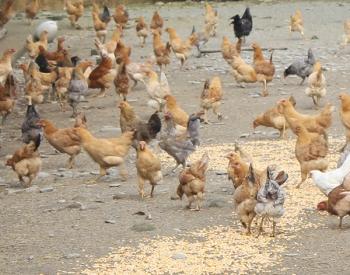 广东散养土鸡